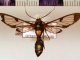 Pheia albisigna (Walker, 1854)