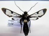 Pheia  toulgoeti   ?  Cerda, 2008