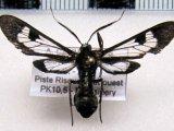 Phoenicoprocta sp ?