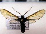 Poecilosoma nigerrimum mâle (Walker, 1865)