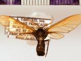 Poecilosoma nigerrimum male (Walker, 1865)