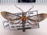 Pseudomya afflicta  male (Walker, 1584)