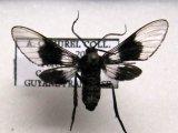 Pseudomya nigrizona Schaus, 1905