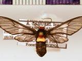 Pseudomya picta femelle  (Schaus, 1894)