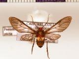 Pseudomya picta male (Schaus, 1894)