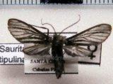 Pseudomya tipulina femelle