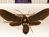 Psoloptera leucosticta  femelle  (Hübner, 1809)