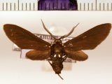 Psoloptera leucosticta  male (Hübner, 1809)