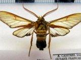 Sarosa acutior  male  (Felder, 1874)