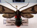 Saurita cassandra male (Linnaeus, 1758)