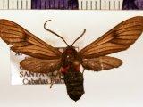 Saurita cassandra mâle (Linnaeus, 1758)