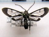 Xanthyda chalcosticta  male (Butler, 1876)
