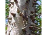 Fulgoridae