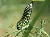 Papilio machaon chenille