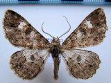 Iridopsis sp 01