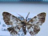 Iridopsis sp 04