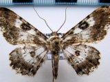 Iridopsis validaria (Guenee, 1858)
