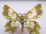 Agathia sp