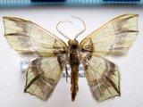 Chloractis pulcherrima      Butler, 1881