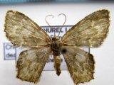 Chloropteryx dealbata    Warren 1909