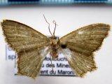 Chloropteryx sp 01