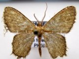 Chloropteryx sp 02