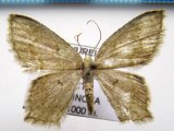 Chloropteryx sp 04