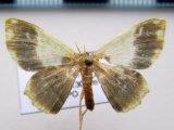 Hydata apicata      Schaus, 1901