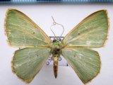 Lissochlora cecilia       Prout, 1912