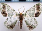 Lophochorista ockendeni  Druce, 1911