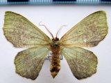 Oospila semispurcata   Warren, 1906