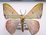 Oospila violacea  Warren 1897