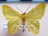 Phrudocentra pupillata  Warren 1897