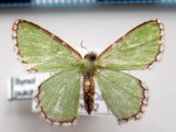 Synchlora pulchifimbria