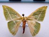 Tachyphyle albisparsa    Warren 1907