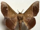 Alheita caudina     femelle  (Schauss, 1905)