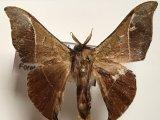 Alheita caudina  mâle  (Schauss, 1905)