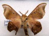 Alheita anoca  mâle  (Schaus, 1905)