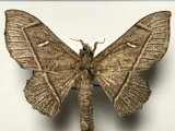 Bedosia trailii  (Butler, 1878)  femelle