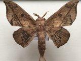 Cicinnus bactriana    mâle  (Butler, 1878)
