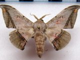 Cicinnus fogia  mâle   Schaus, 1905