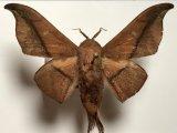 Cicinnus hamata mâle   (Walker, 1855)