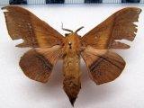Cicinnus joanna femelle    (Walker, 1855)