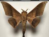 Cicinnus joanna mâle   (Walker, 1855)