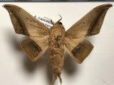 Cicinnus lacuna mâle Schauss, 1910
