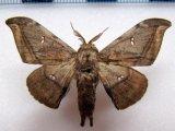 Cicinnus submarcata       Schaus, 1905