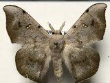 Eadmuna esperans (Schaus, 1905)  mâle