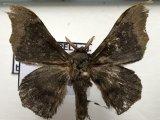 Lacosoma briasia mâle Schaus, 1928