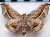 Menevia plagiata femelle   (Walker, 1855)