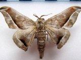 Menevia plagiata mâle     (Walker, 1855)